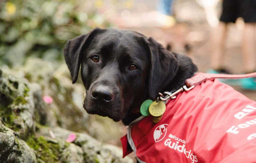 Guide dog puppy in his red coat turning to look at the camera
