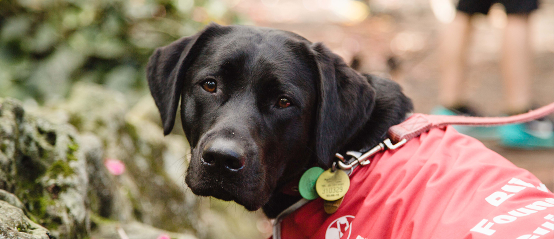 Black labrador puppy in a red guide dog coat