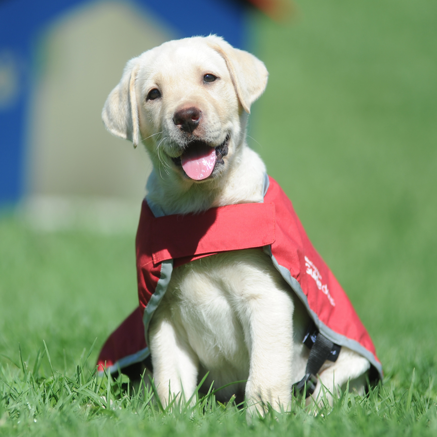 A guide dog puppy in a red coat