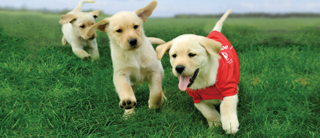 Three labrador puppies running on the grass