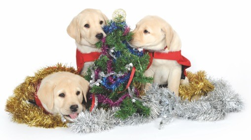 Photo of guide dog puppies playing with Christmas tinsel
