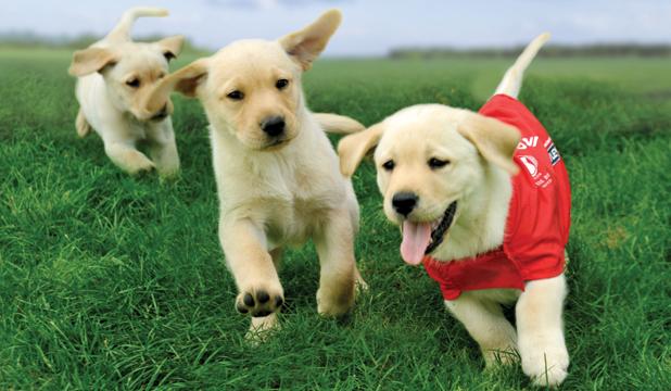 3 puppys running