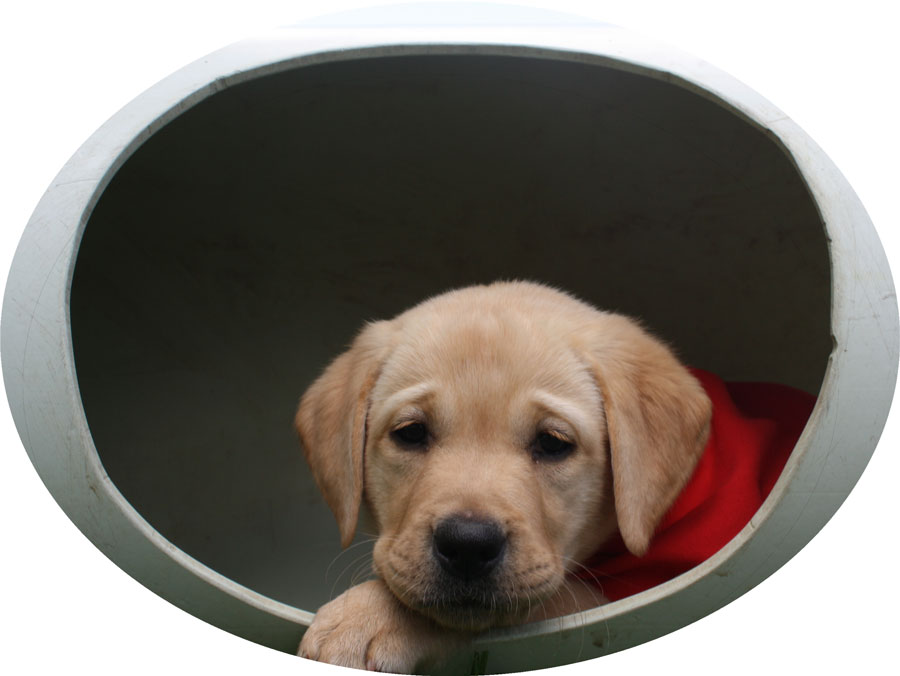 Golden labrador in play tunnel