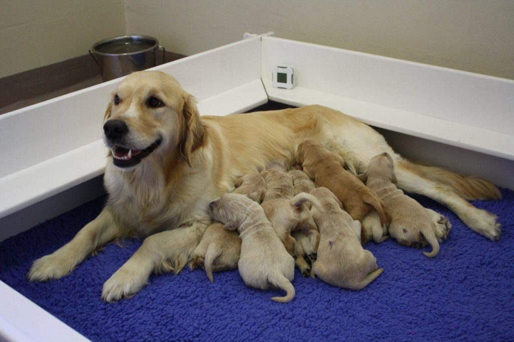 quinn with her yellow lab puppies