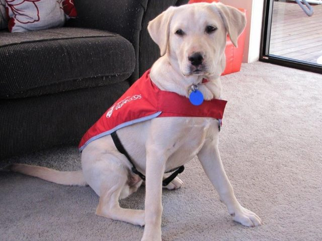 guide dog puppy at home