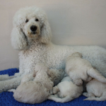 High paws for poodle pups