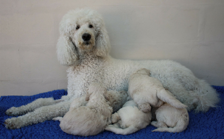 Shiloh and her poodle pups