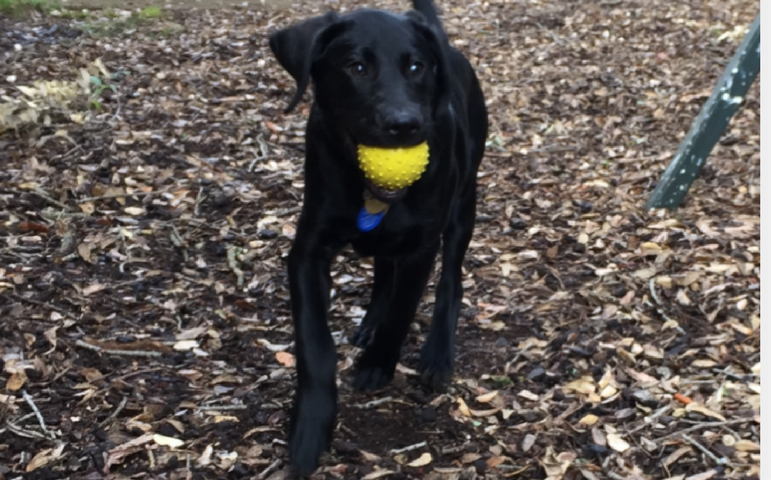 Guide dog puppy Brooke running with her yellow ball in her mouth.