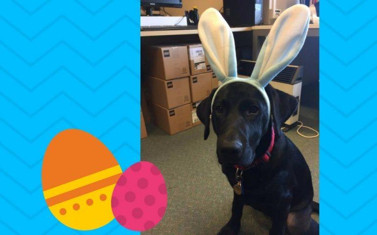 Black labrador wearing bunny ears