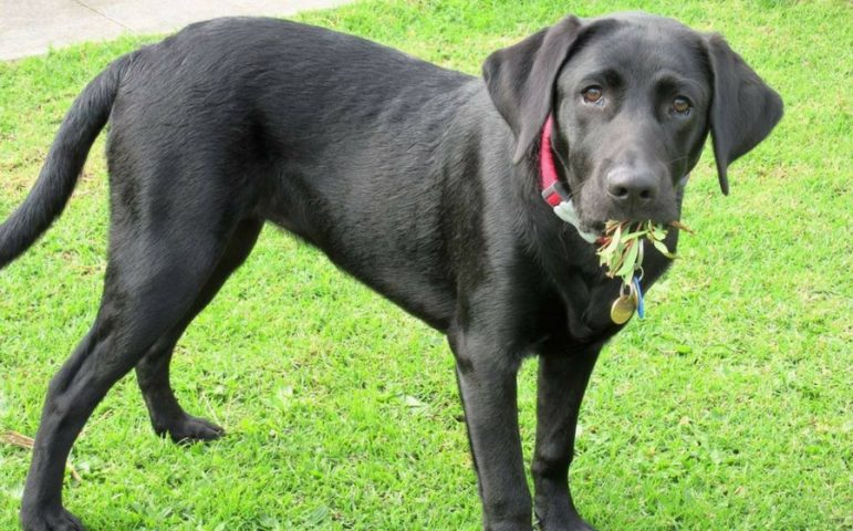 A black labrador eating grass