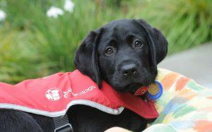 Our new pupstar, black Labrador Harris