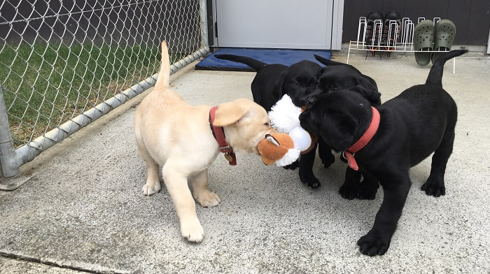 Puppies fighting over a soft toy