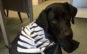 Black Labrador wrapped in All Blacks flag