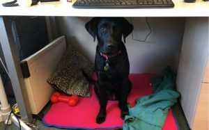 Black Labrador sitting under a work desk