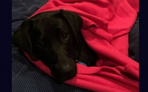 Black labrador in a red blanket