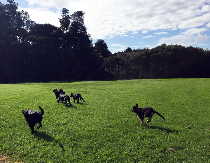 A group of dogs running across a field