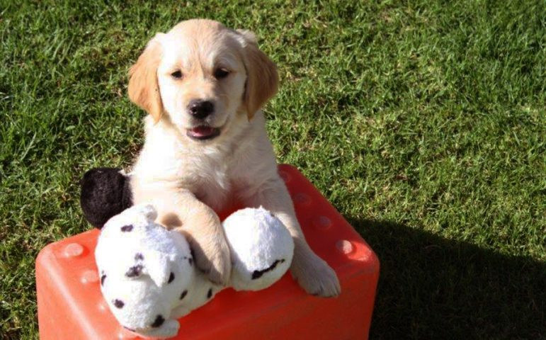 Golden retriever puppy with soft toys
