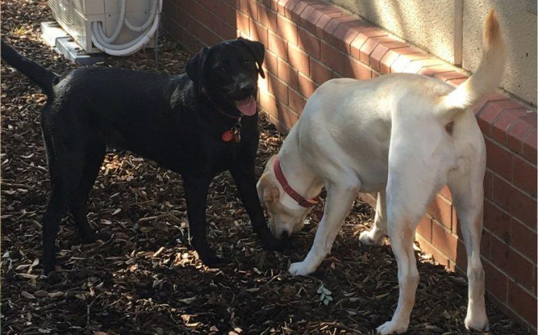 Black and yellow labradors