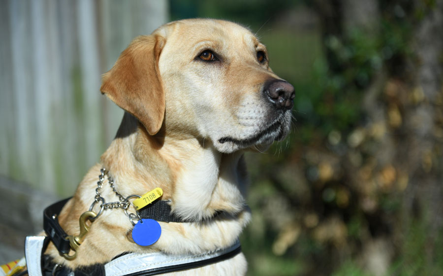 Labrador guide dog Darbi looking proud