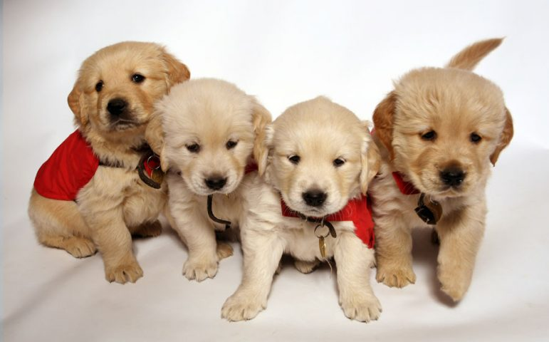 Four Golden Retriever puppies
