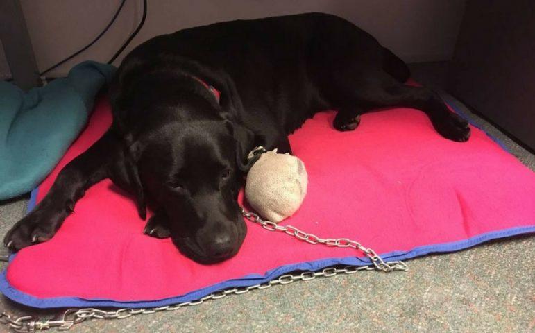 Black labrador puppy lying under a work desk
