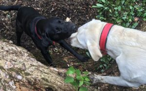 Two puppies playing tug of war with a stick