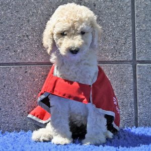 Poodle puppy in red guide dog in training coat