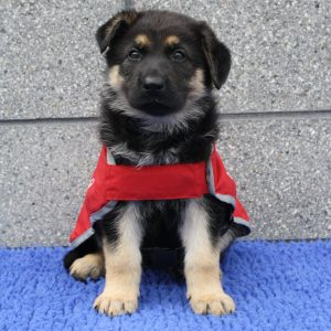 German Shepherd puppy in red guide dog in training coat