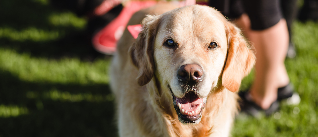 Adopt A Dog Retired Guide Dogs And Puppies Blind