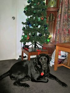 A black labrador sitting in front of a Christmas tree