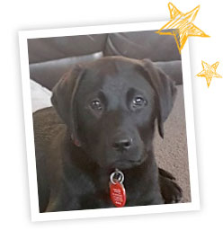 A young black Labrador puppy in a white photo frame