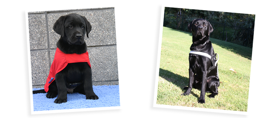 A picture of a puppy in his red coat and the same dog grown up in his guide dog harness