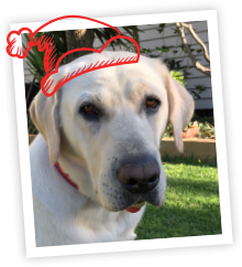 A picture of a white Labrador with a cartoon Santa hat drawn on
