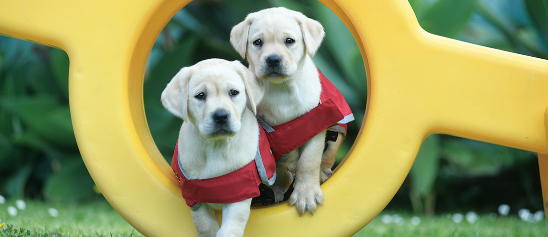 Two Labrador puppies on yellow play equipment