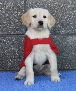 Golden Retriever puppy wearing a red guide dog coat