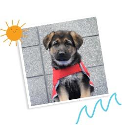 German Shepherd puppy in a red coat