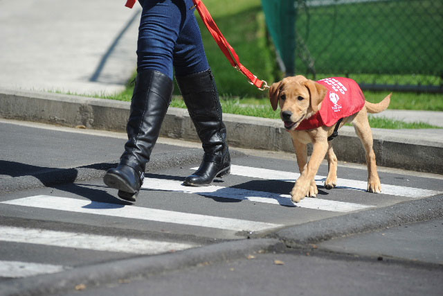 Puppy walking across the road with it's owner