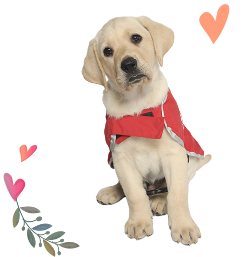 Guide dog puppy Yates in his red coat