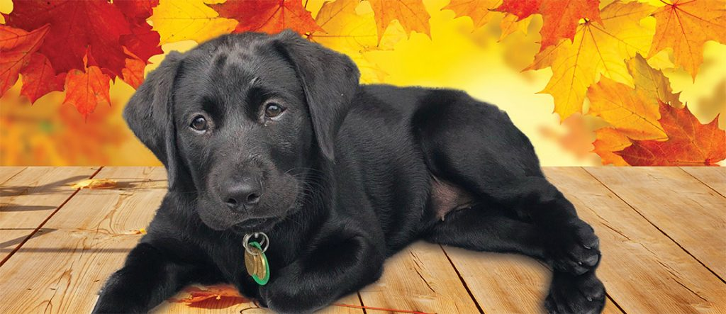 A black guide dog puppy is lying on the floor with golden leaves background