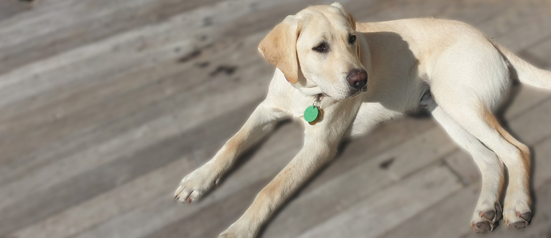 Guide dog puppy on a sunny deck