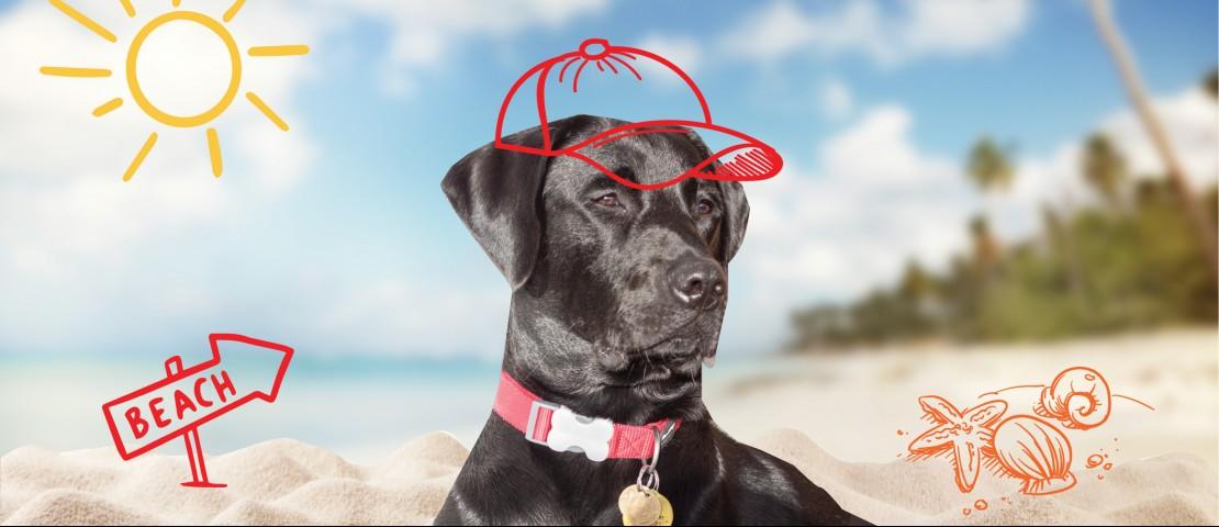 Vesper, the black Labrador photographed on the beach