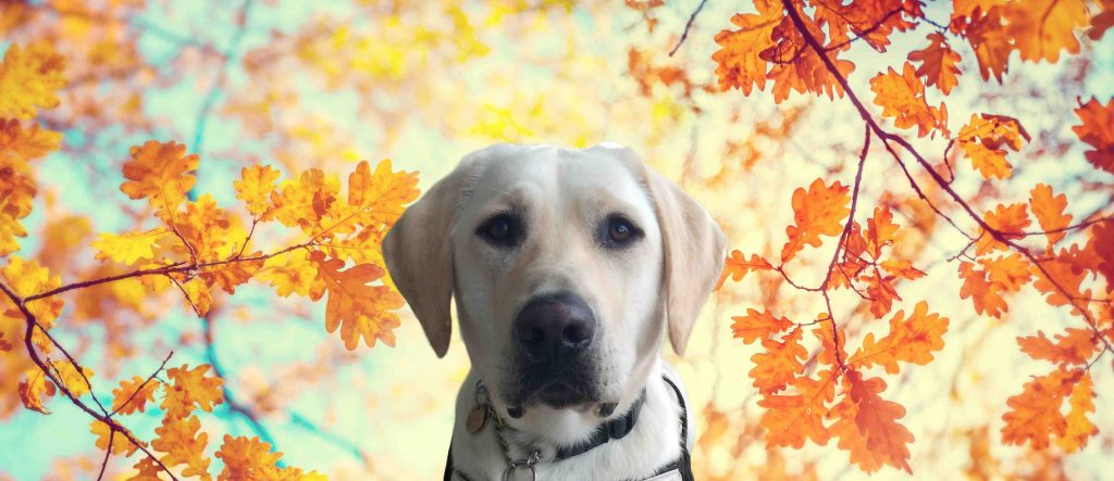 Otis sits with yellow maple leafs background