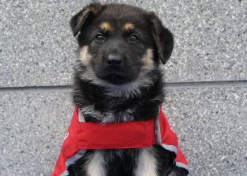 German Shepherd puppy in red guide dog in training coat