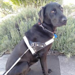 Guide Dog Nala